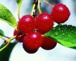 Montmorency-Cherries1